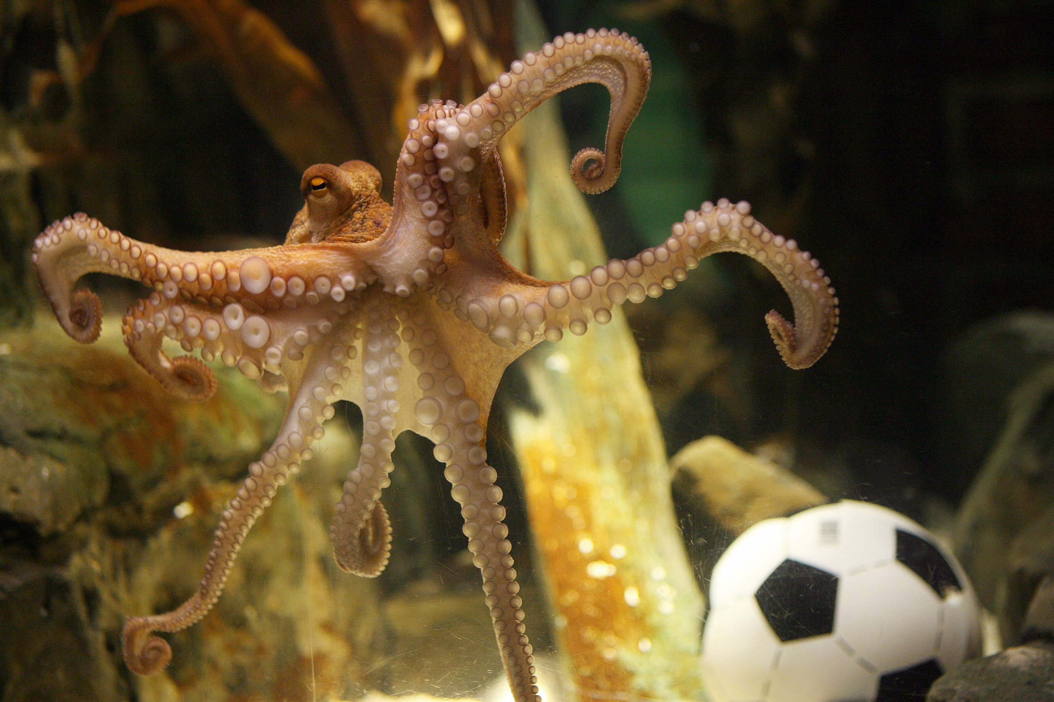 Great escape! Inky the octopus disappears from New Zealand aquarium ...