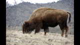 Bison one step closer to becoming 'national mammal'
