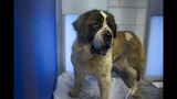 Dogs rescued from South Korean dog meat farm arrive in U.S.