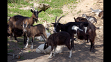 Rescue takes in 46 goats, asks community for help
