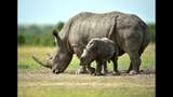 Can new technology save dwindling rhino population from poachers?
